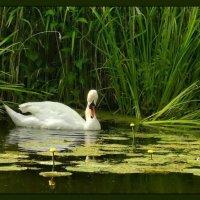 Белая тайна дикого пруда :: Диана Буглак