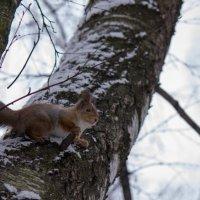 Белка на дереве :: Ольга Орлова