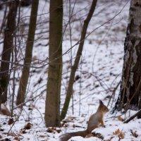 Белка в зимнем лесу :: Ольга Орлова