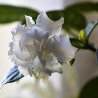 Цветок домашний :: Вера Нарсова