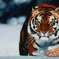 Тигр :: Ольга Рыбак