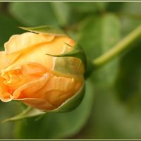 бутон розы :: Татьяна Панчешная
