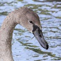 УЖе не гадкий утенок, но еще и не лебедь... :: Kimiko (= Евгения)