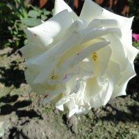 Белая роза :: Наталья Кэт