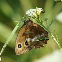 Бабочка :: Сергей Ко