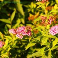 Пчелка. :: Ирина Дегтярева
