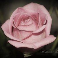нежная роза :: Светлана Ларина