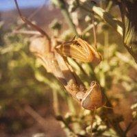 Богомол обыкновенный (лат. Mantis religiosa) :: Илья Бескаравайный