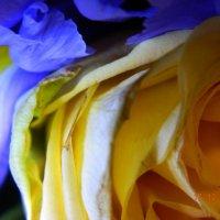 сине- жёлтый :: Мария Шумаева