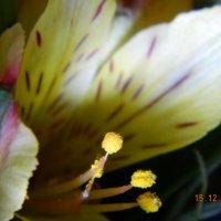 цветок :: Мария Шумаева