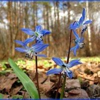 Первенцы весны :: Василиса Никитина