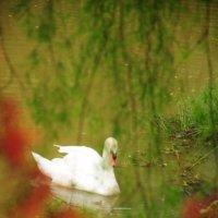 а белый лебедь на пруду... :: Sofia Rakitskaia