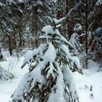 В лесу родилась елочка... :: Ирина Рассветная