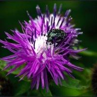 Лето... жуки... :: Ольга Маркова