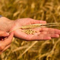 Колосок и зерна пшеницы на руке на фоне пшеничного поля :: Александр Фролов