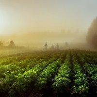 Туман над картофельным полем... :: Федор Кованский