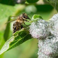 Пчелка :: Иван Щербина