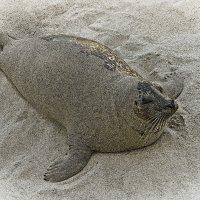 Тюленчик на детском пляже в Ла - Хойе. :: Барбара