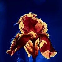 Аленький цветочек :: kram