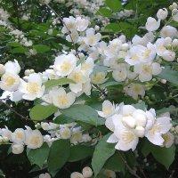Жасмин цветет.Сладчайший аромат.. :: Наталия Павлова