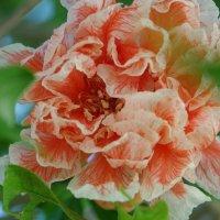 Гранат в цвете :: Константин Вергун