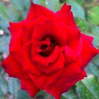 Всех красотою затмила, яркая пламя рубина... :: Мухаббат Юлдашева