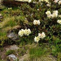 Цветы высокогорья :: Vladimir Lisunov