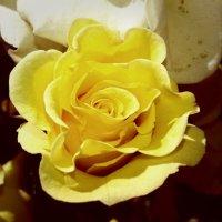 желтая роза :: Юлия Закопайло