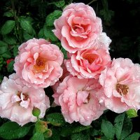 Розовые розы :: Liliya Kharlamova