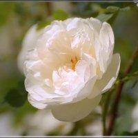 роза :: linnud