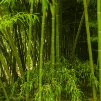 Bambuseae :: Georgy Kalyakin