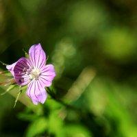 Цветы полевые :: Ирина