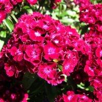 Красная гвоздика :: veera (veerra)