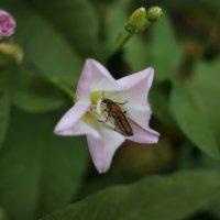Жук в цветке :: Света Кондрашова