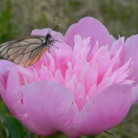 Пион с бабочкой :: Олег Романенко