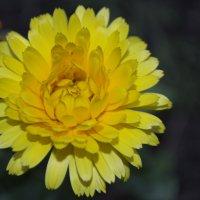 flower shining like a Sun :: Elen Balasanyan