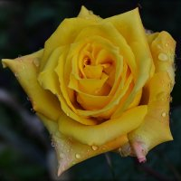 Желтая роза :: Natal&na Фотолюбитель