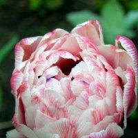 Махровый тюльпан :: Ирина Фирсова