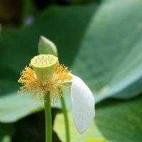 Последний лепесток, лето любит лотоса цветок. :: Нина Сигаева