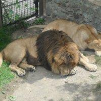 Львы :: mobyalta