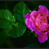 Роза... :: Игорь