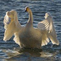 Объятья лебединые студёною зимой :: Ольга Сажина