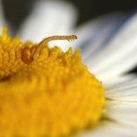Маленькая гусеница на ромашке... :: Федор Кованский