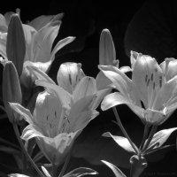 Цветы без цвета :: Алексей Масалов