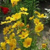 Солнечные цветочки :: Леонид Корейба