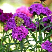 а вот и Бабочка.. :: Наталья Бридигина