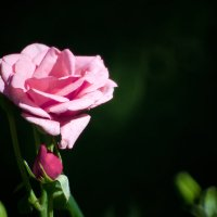 роза :: Maxibeat Максим