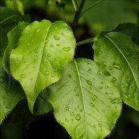 """""""Он пахнет так вкусно, листочек зелёный..."""" :: Валентина *"""
