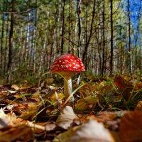пижон Российских лесов :: gribushko грибушко Николай