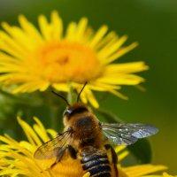 Пчела летающее насекомое, которое тесно связано с осами и муравьями. :: Вадим Поботаев